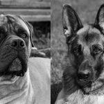 k9-security-dog-chienResized